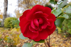 Central-close-up-shot-of-a-fully-opened-red-rose-with-foliage-in-the-background