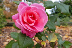 Central-close-up-shot-of-a-pink-rose-with-foliage-and-autumn-leaves-in-the-background