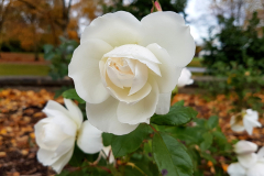 Central-close-up-shot-of-a-white-rose-with-foliage-and-autumn-leaves-in-the-background