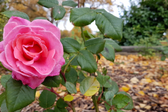 Close-up-Autumn-shot-of-a-pink-rose-with-foliage-and-autumn-leaves-in-the-background