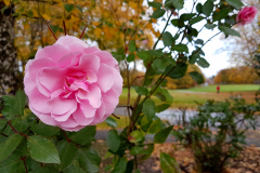 Close-up-of-a-fully-opened-pink-rose-in-Autumn-with-parkland-in-the-background