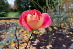 Close-up-of-a-peach-coloured-rose-in-Autumn-with-parkland-Autumn-background