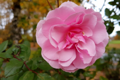 Close-up-of-a-single-pink-rose-in-Autumn