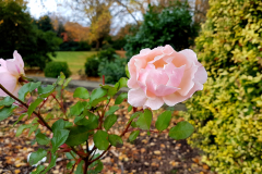 Close-up-of-two-pink-roses-in-Autumn-with-parkland-in-the-background