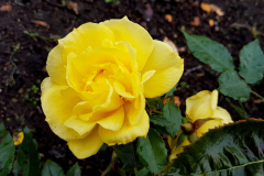Close-up-shot-of-a-fully-opened-yellow-rose-with-the-soil-bed-in-he-background