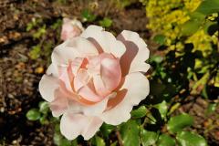 Close-up-shot-of-a-pink-rose-flower