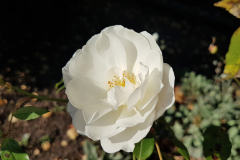 Close-up-shot-of-a-white-peony-flower
