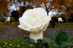 Close-up-shot-of-a-white-rose-with-autumn-trees-in-the-background