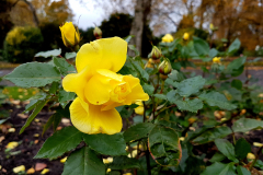 Close-up-shot-of-a-yellow-rose-with-foliage-in-the-background