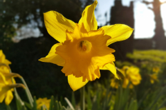 Single-daffodil