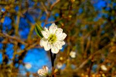 Single-tree-blossom